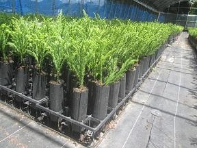 苗木の生産1