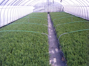 苗木の生産2